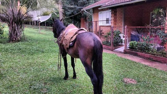Bagual mangalarga Marchador  - Foto 4