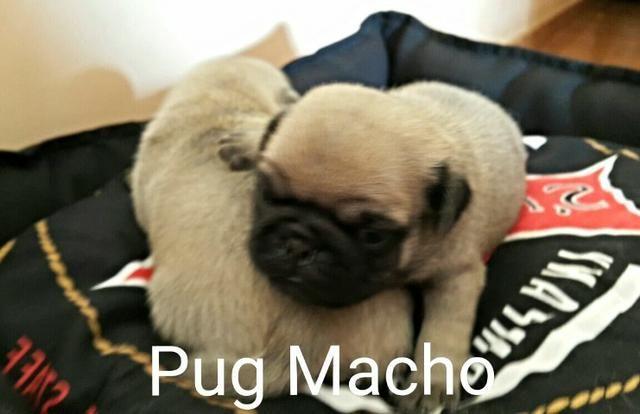 Promoção Pug macho e fêmea disponivel Canil Yoshi - Foto 3