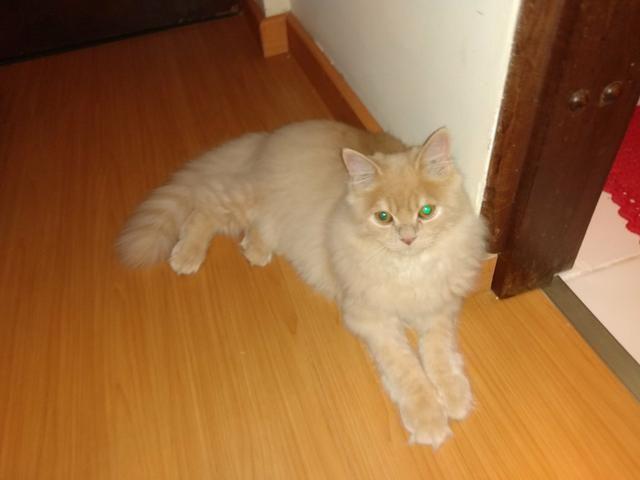 Vendo gato - Foto 2