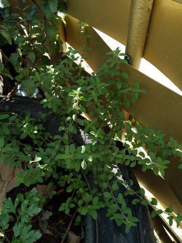 Vende se muda de cebolinha organica - Foto 5
