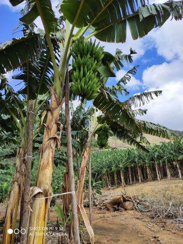 Mudas de banana da terra - Foto 2