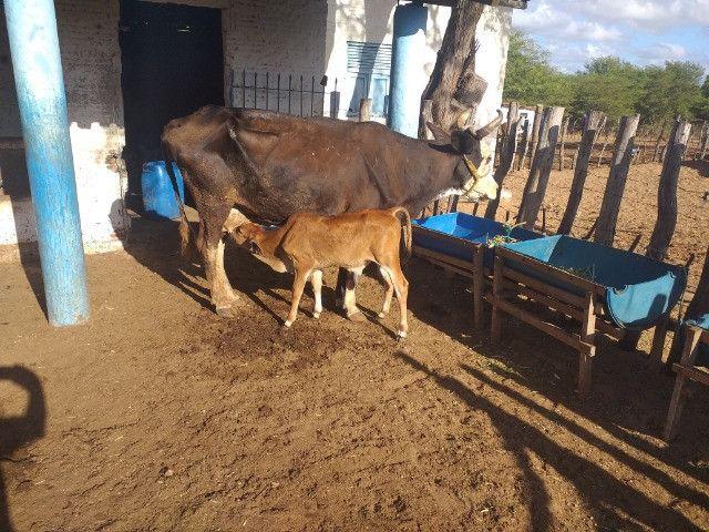 Vendo 3 vacas paridas com 3 bezerros ao pé prontas para tirar leite - Foto 5