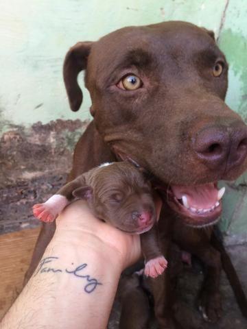 Vende-se filhotes de pitbull, puros! - Foto 3