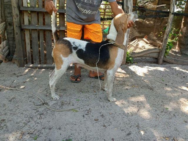 Cachorra beagle - Foto 2