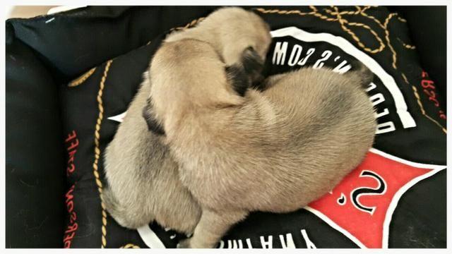 Promoção Pug macho e fêmea disponivel Canil Yoshi - Foto 2