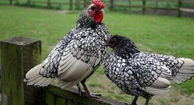 Fêmeas Adultas de Garnizé Sebright Prata e Dourado - Foto 2