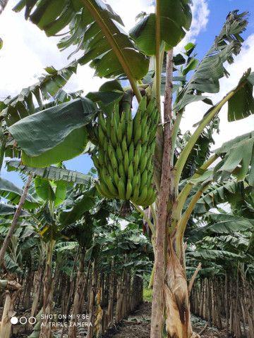 Mudas de banana da terra - Foto 3