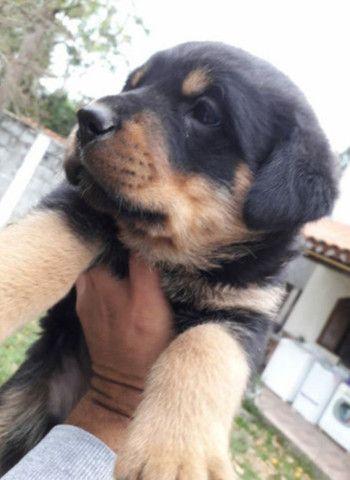 CanilCitypet filhotinhos de Rottweiler porte sem igual
