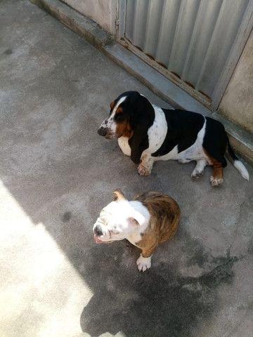 Basset Hound com excelente pedigree procura namorada - Foto 6