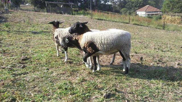 Ovelhas Dorper - Foto 2