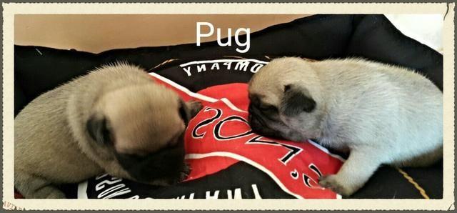 Promoção Pug macho e fêmea disponivel Canil Yoshi