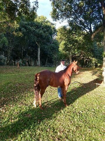 Cavalo inglês x quarto de milha - Foto 2