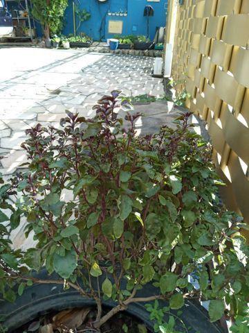 Vende se muda de cebolinha organica - Foto 4
