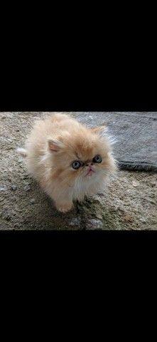 Gatos persas - Foto 2