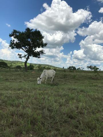 Oportunidade Extra Fazenda 100 Alqueires ou 484 Hectares Aragoiânia - Foto 4