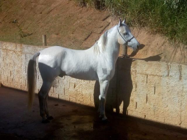 Vendo cavalo mangalarga!