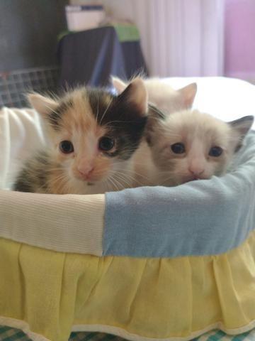 Gatos siameses - Foto 4