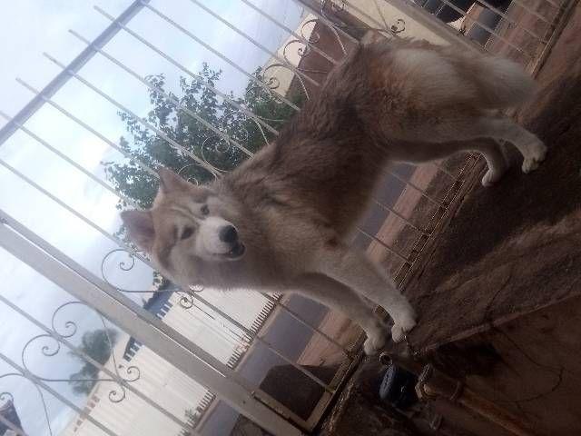 Filhotes de husky siberiano com pedigree - Foto 2
