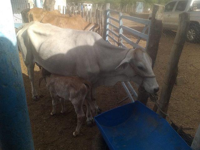 Vendo 3 vacas paridas com 3 bezerros ao pé prontas para tirar leite - Foto 2