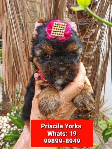 Yorkshire Terrier - Foto 6