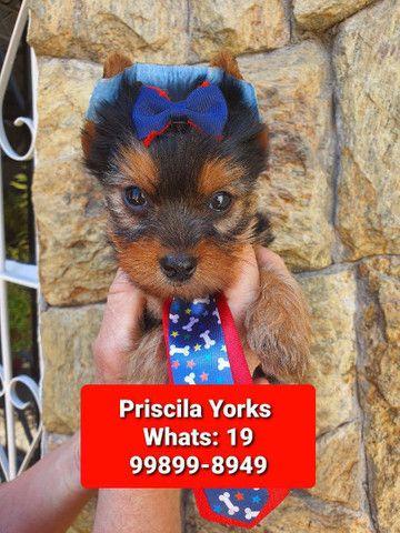 Yorkshire Terrier - Foto 2