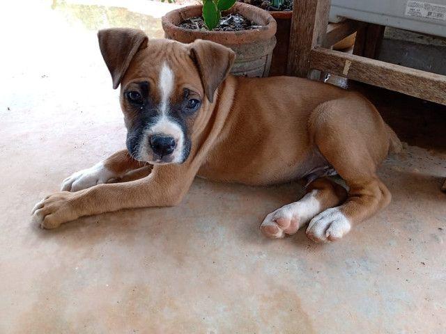 Filhote de Boxer macho. - Foto 3