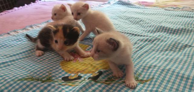 Gatos siameses - Foto 3