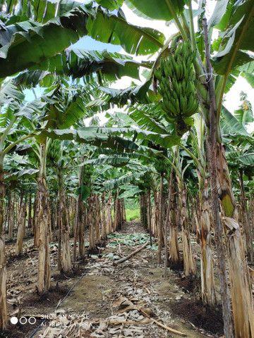 Mudas de banana da terra - Foto 4