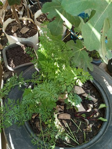 Vende se muda de cebolinha organica - Foto 3