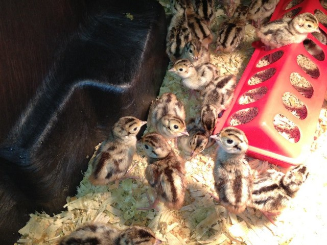 Ovos férteis de faisão Coleira(Outubro2021) R$120,00 a dúzia - Foto 3