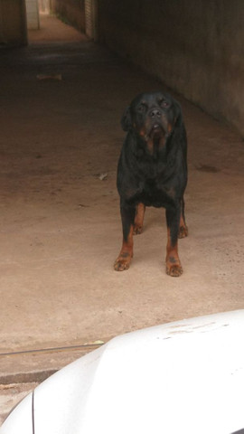 Rottweiler disponível para cobertura  - Foto 2
