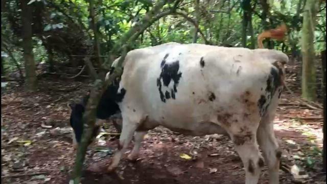 Vacas Leiteiras - Foto 2