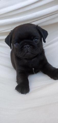 Pug com pedigree - Foto 3