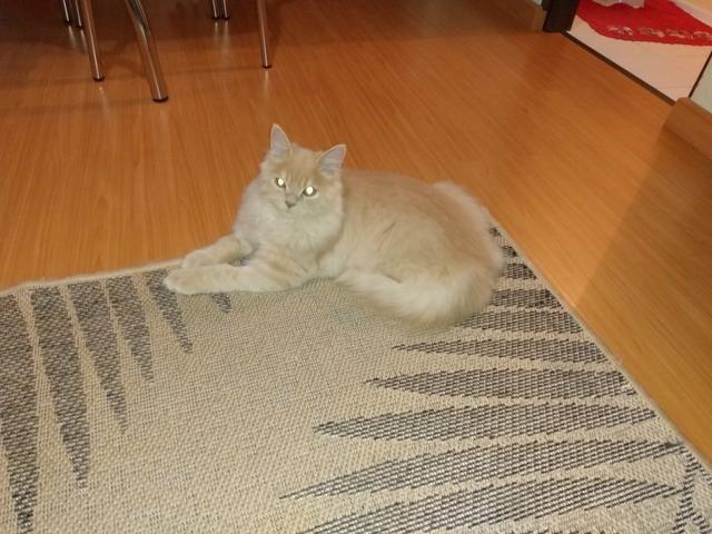 Vendo gato - Foto 4