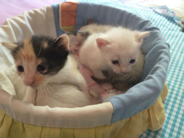 Gatos siameses - Foto 2