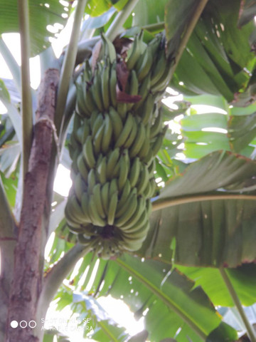 Mudas de banana da terra - Foto 5