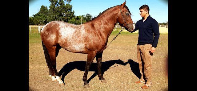 Cavalo garanhão quarto de milha e égua mestiça - Foto 3