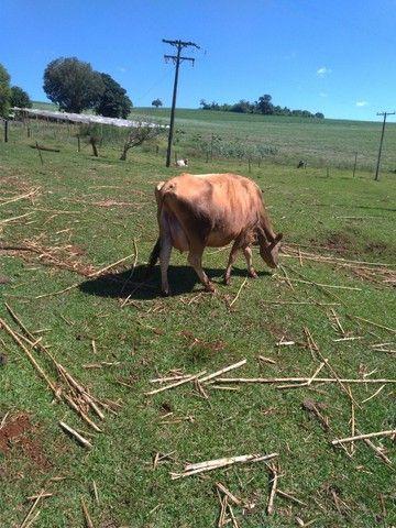 Vendo vaca leiteira  - Foto 3