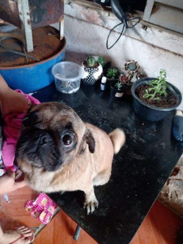 Vendo um casal de Pug adulto  - Foto 5