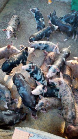 Vende-se porcos pietrã.