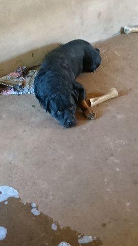 Rottweiler disponível para cobertura  - Foto 4