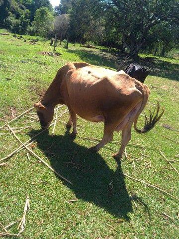 Vendo vaca leiteira  - Foto 2