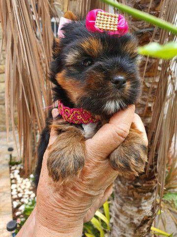 Yorkshire Terrier - Foto 4