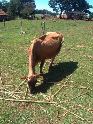 Vendo vaca leiteira