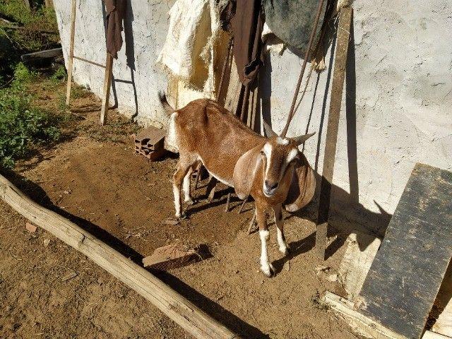 Bode e cabra para venda - Foto 2
