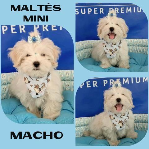 Super Promoção Maltês Mini Macho # Microchipado # Parcelado 12x