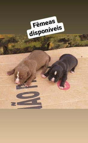 Filhotes de Pitbull disponíveis - Foto 3