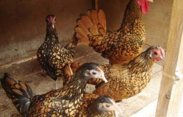 Fêmeas Adultas de Garnizé Sebright Prata e Dourado