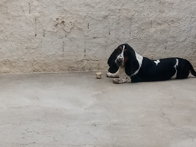 Basset Hound com excelente pedigree procura namorada - Foto 4
