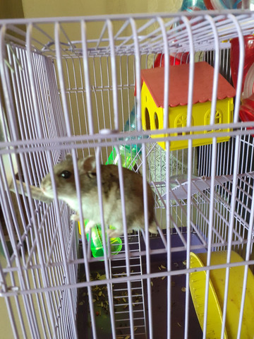 Hamister com gaiola - Foto 3
